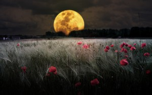 moon-and-poppy-meadow